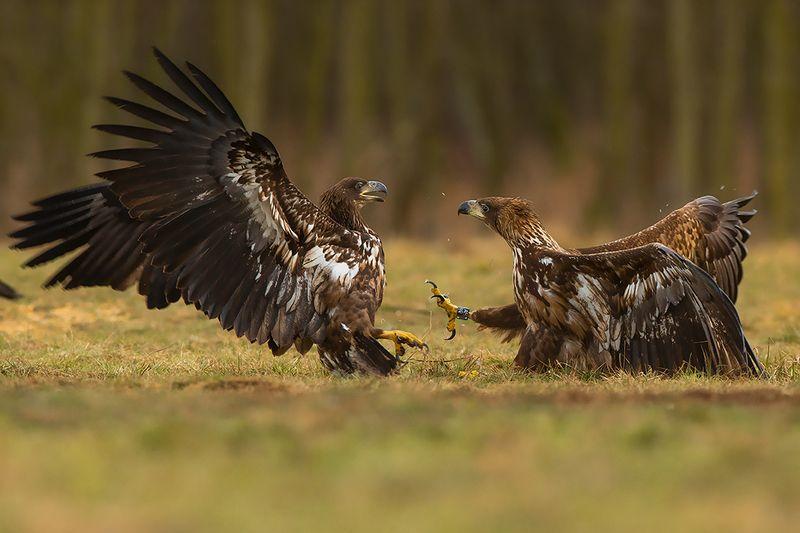 bird, wild,animals ,poland,canon Орлан-белохвостphoto preview