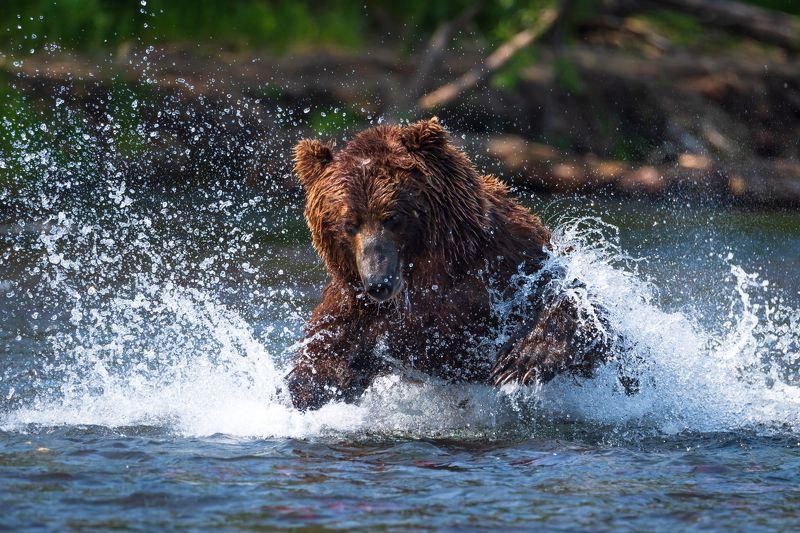 камчатка, медведь, рыбалка, улов Медвежья рыбалкаphoto preview