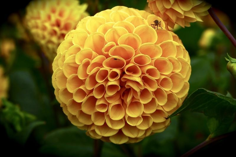 Macro, flora, yellow, dahlia, insekt, autumn, colors, nature,  Кто-кто, в теремочке живёт?photo preview