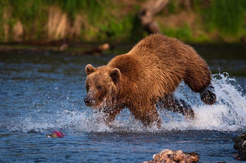 камчатка, медведь, рыбалка, улов Попробуй догони!photo preview