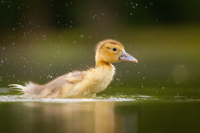 Ducklingphoto preview