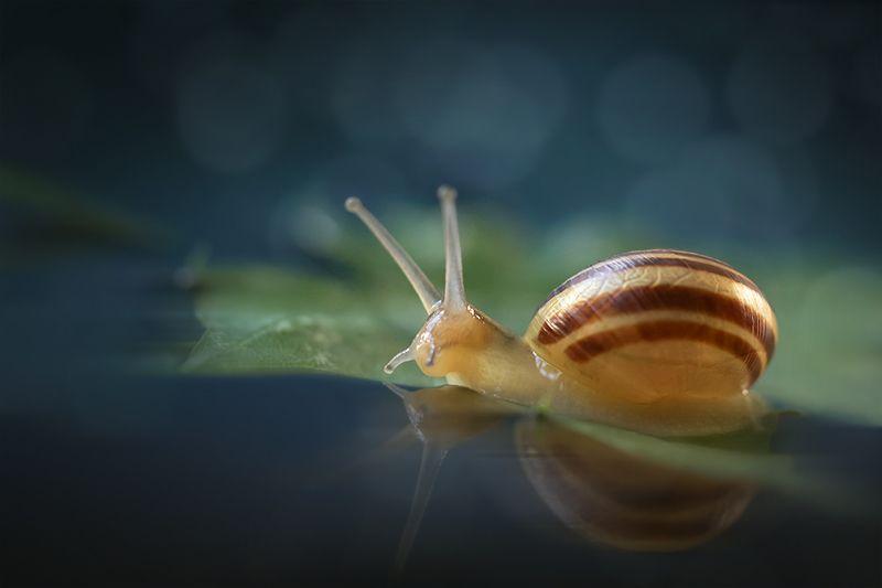 макро, улитка, snail, macro Переплыть океанphoto preview