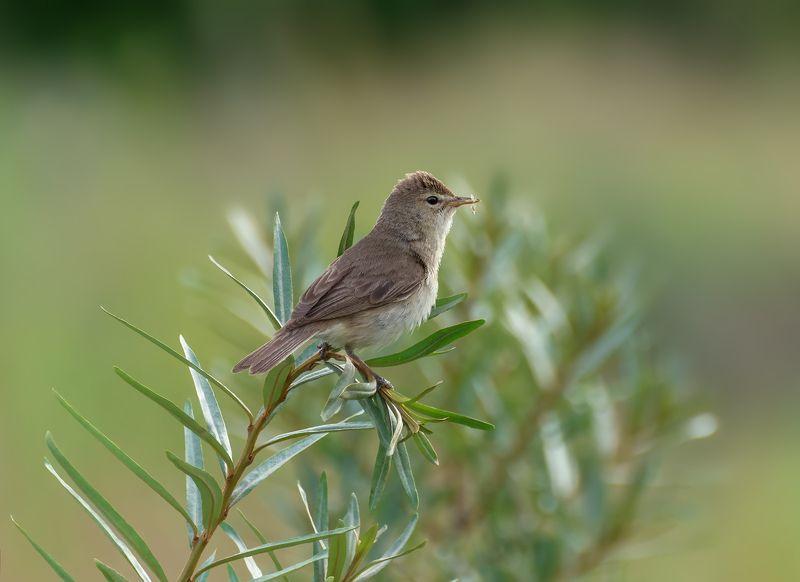 птица, северная бормотушка, Северная бормотушка..photo preview