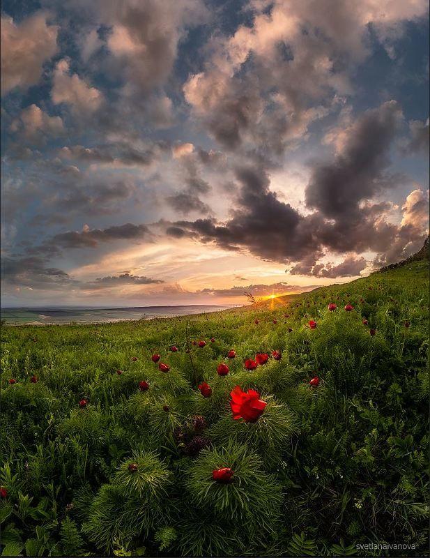 пионы, бештау, верблюдогорка, поле, закат, кмв, кавказ, ессентуки …цветут последние пионыphoto preview