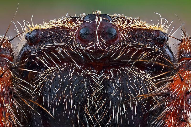 irass, waledzik, nat geo, olympus, close up, macro, extreme macro, макро Araneus diadematus.photo preview
