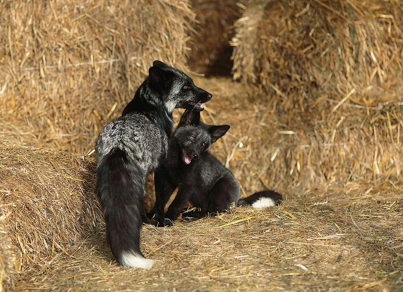 лиса, лисёнок, красота, foxy,pup, silver foxses,animals,beautiful Из серии-лисьи историиphoto preview