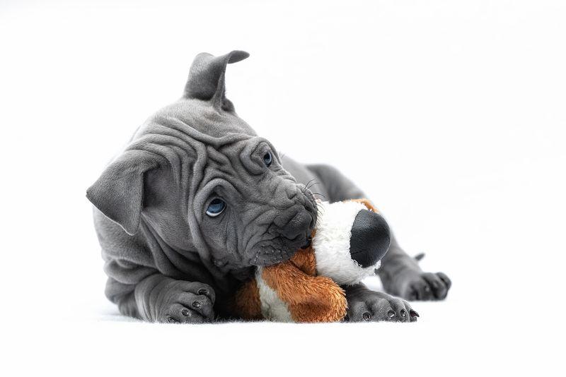 собака, животное, dog, тайский риджбек, щенок Моя игрушкаphoto preview