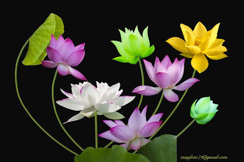 #sellingphoto.#lotus #flower Lotusphoto preview