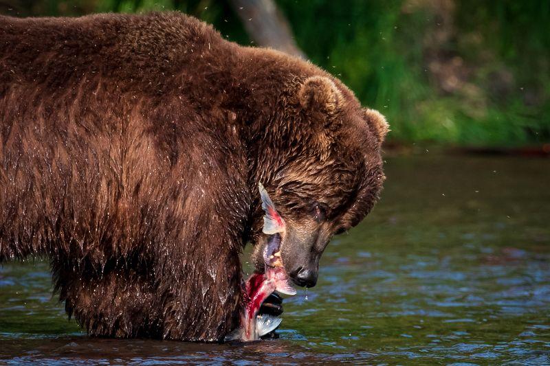 камчатка, медведь, рыбалка, улов Это МОЯ добыча!photo preview