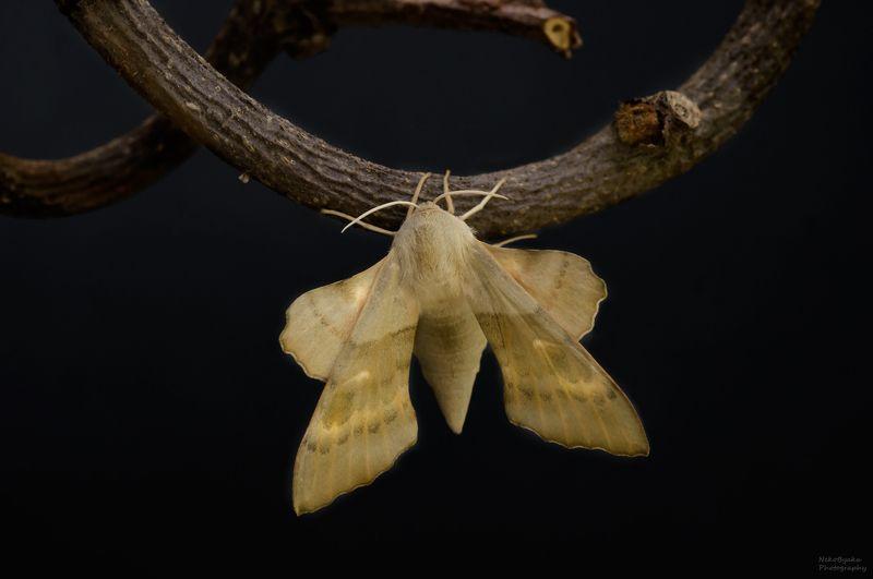 макро, природа, насекомые, бабочки, бражник, macro, nature, insects, butterflies, hawk moth, Бражник тополёвый (Laothoe populi)photo preview