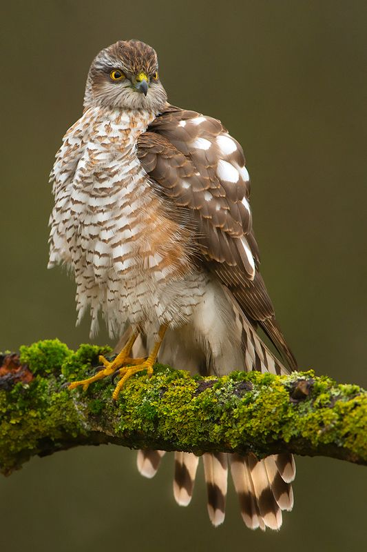 bird, wild,animals ,poland,canon Ястреб-перепелятникphoto preview