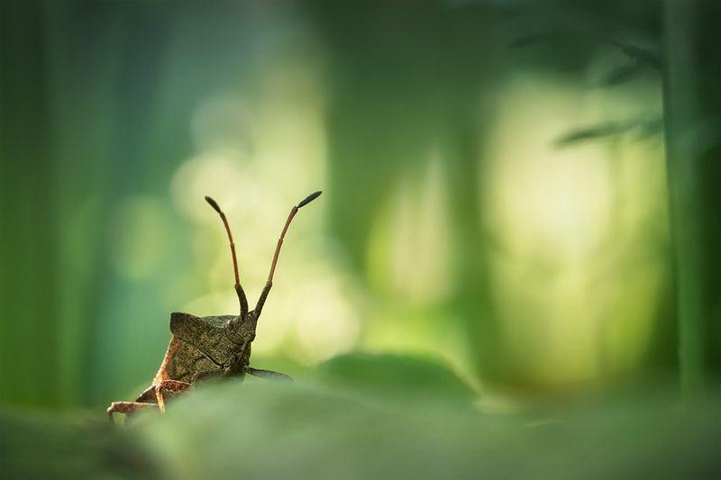 клоп,bug, halyomorphahalys, макро, macro Страж Входа в лесной макромирphoto preview