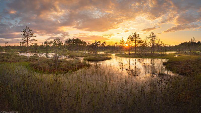 болото, болотные топи, ленобласть, ленинградская область, острова, сосны, июль \