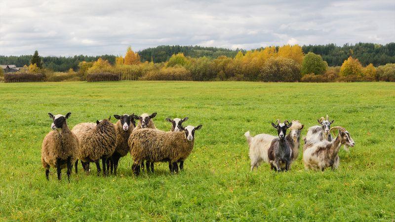 осень поле луг лес овцы козы пинега архангельская область Две компанииphoto preview