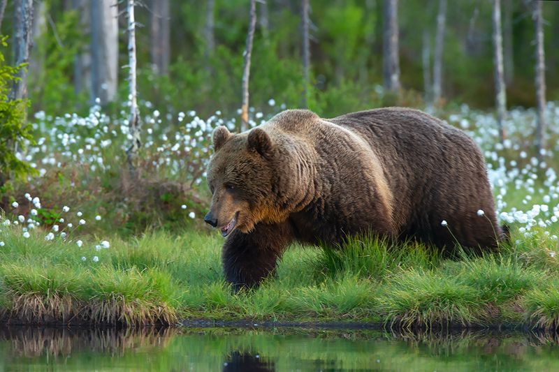 wild, animals Бурый медведьphoto preview