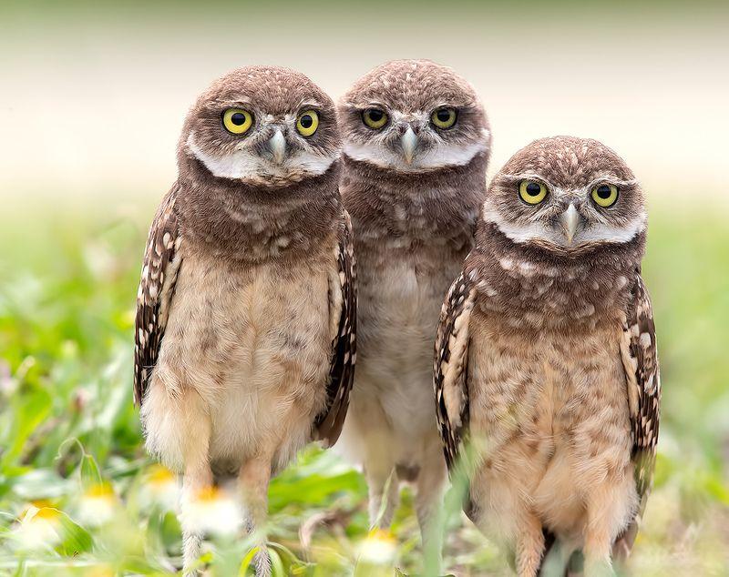 кроличий сыч, florida,burrowing owl, owl, флорида,сыч Сычики - Burrowing Owlsphoto preview