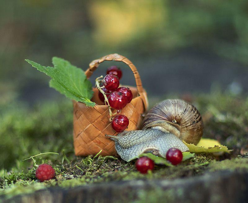 улитка,тихоход, моллюск,ягоды, смородина, малина,природа, snail, berry,red currant, raspberry,nature Запретный плодphoto preview