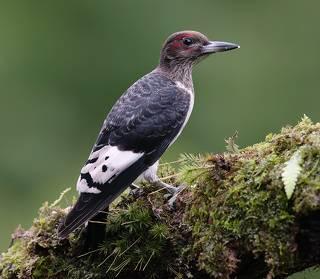 Juvenile. Red-headed woodpecker -Красноголовый меланерпес. Молодой