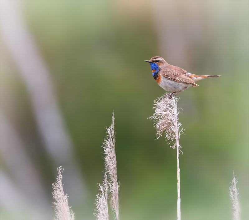 птица, варакушка, варакушка (самец)photo preview