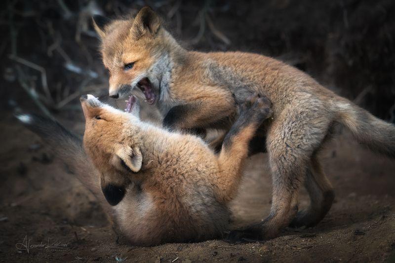 животные,лиса,лисята,лисёнок Про лисят...photo preview