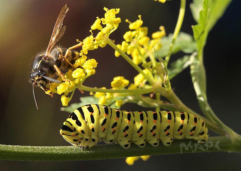 макро оса гусеница махаон насекомые лето Оса и будущий махаонphoto preview