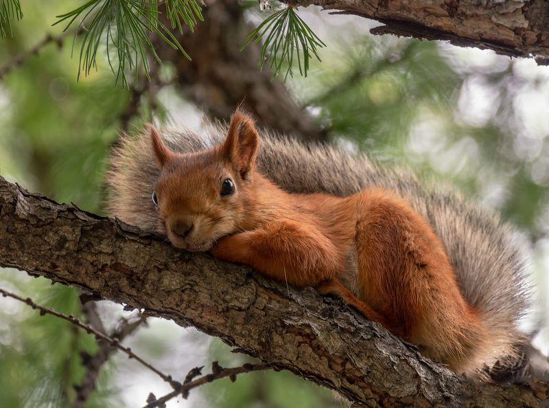 белка, отдых, дерево, послеобеденный отдых..photo preview