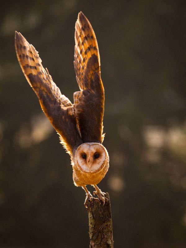 Barn Owlphoto preview