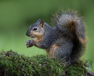 Fox Squirrel - Лисья Белка