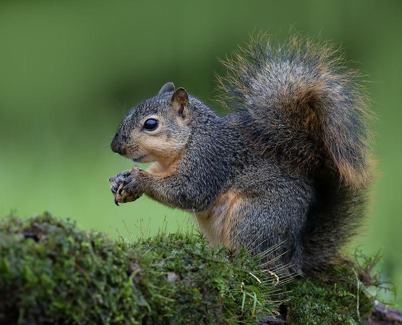 белка, squirrel, лисья белка, fox squirrel, животные, animals,  дикие животные Fox Squirrel - Лисья Белка фото превью