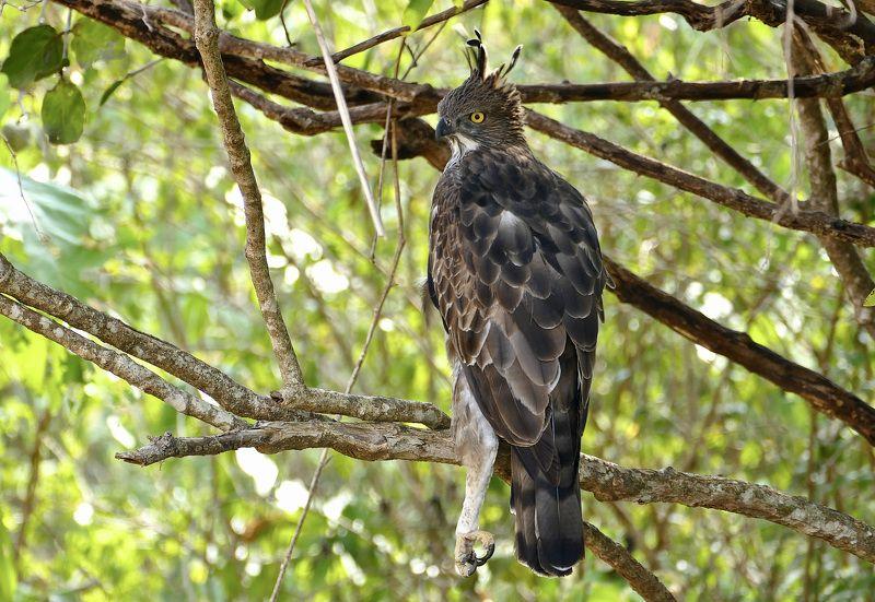 Animals, crested hawk-eagle, fauna, birds, Sri Lanka, travel, nature, forest, tree, wild animals,  Хохлатый ястреб.photo preview