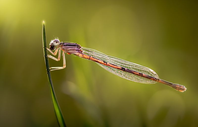 damselfly, dragonfly, insect, grass, sunset, dusk, evening, bug, macro, blade, grassland, Hang onphoto preview