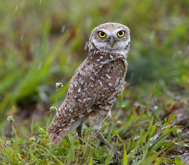 кроличий сыч, florida,burrowing owl, owl, флорида,сыч Burrowing Owl - Кроличий сыч фото превью