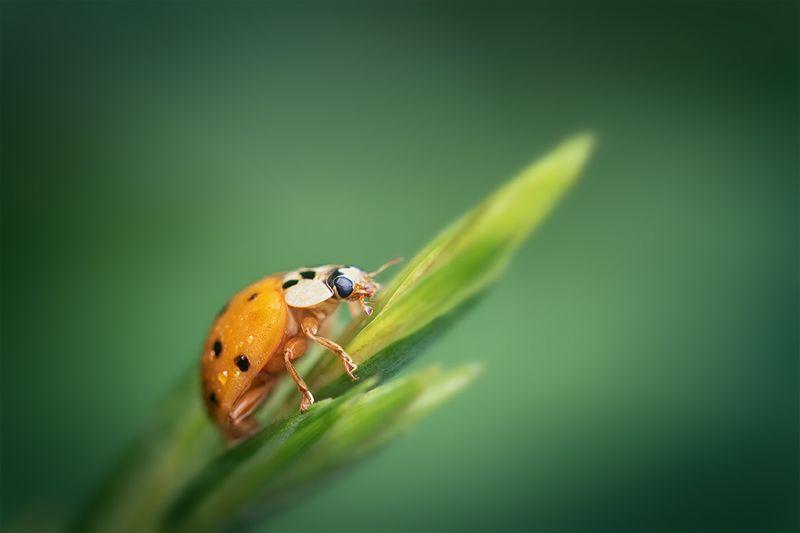 макро, божья коровка, ladybug, macro Оранжевый кусочек уходящего летаphoto preview