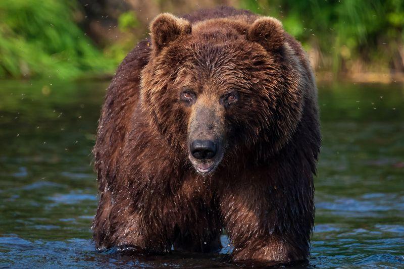 камчатка, медведь, рыбалка, улов Сила взглядаphoto preview