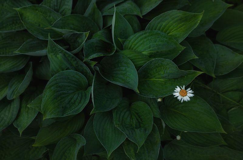 макро, ромашки, лето, природа Пряткиphoto preview