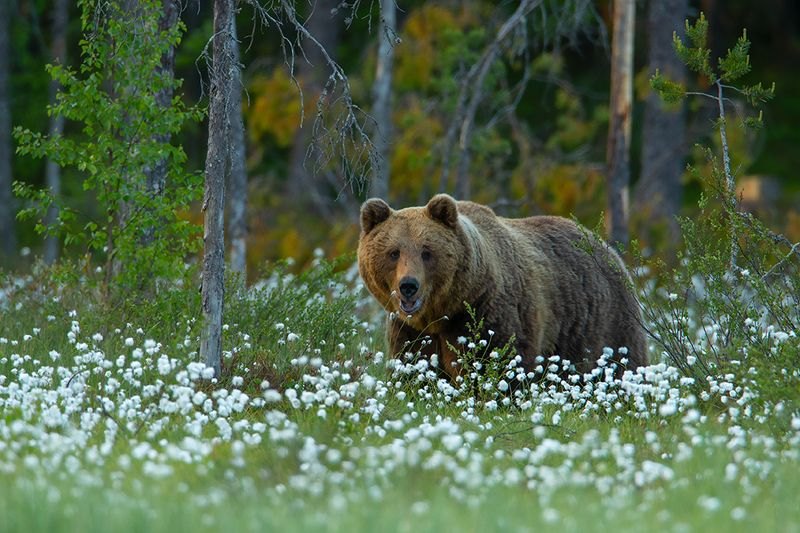 wild , animals, Бурый медведьphoto preview