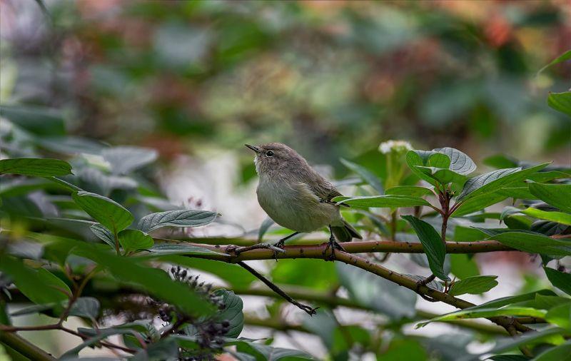 птица, пеночка теньковка, пеночка теньковка..photo preview