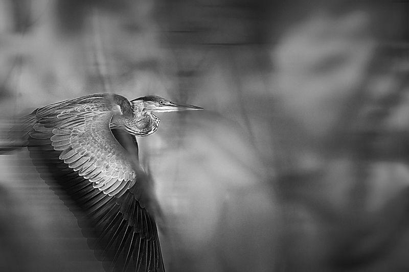 grey heron, birds, wild nature The Grey Heronphoto preview