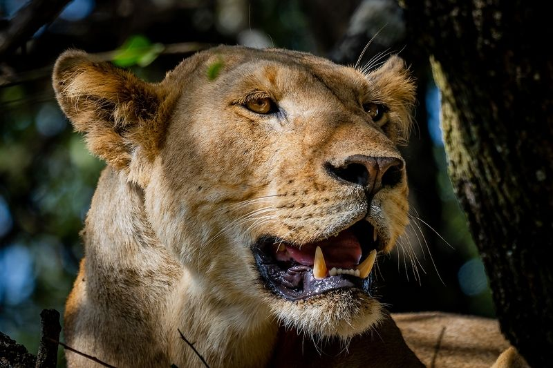 Lion from Manyara.photo preview