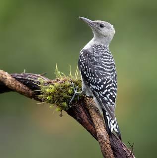 Juvenile -Red-bellied Woodpecker. Молодой дятел - Каролинский меланерпес