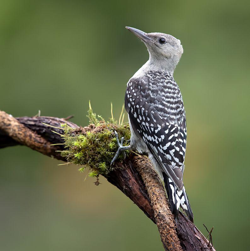 дятел, каролинский меланерпес, red-bellied woodpecker, woodpecker Juvenile -Red-bellied Woodpecker. Молодой дятел - Каролинский меланерпес фото превью