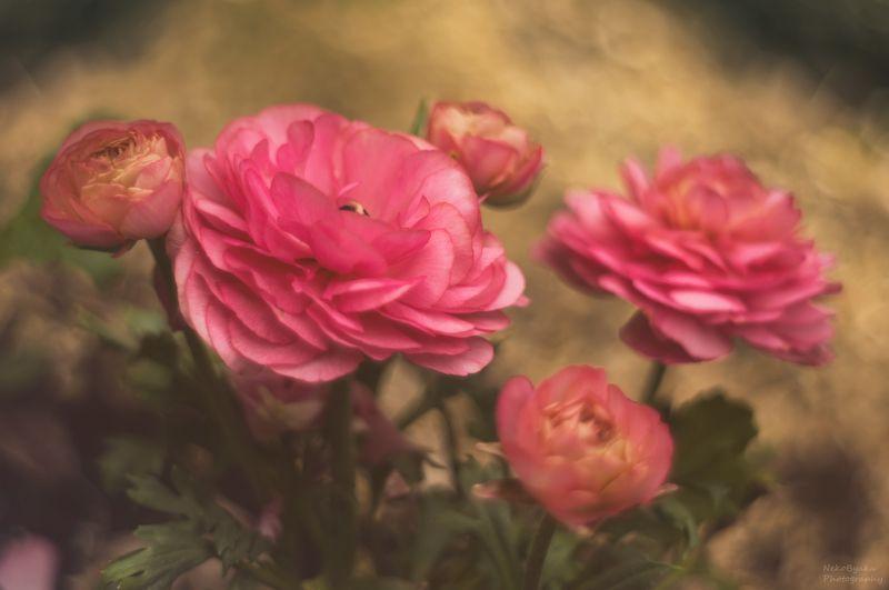 макро, природа, цветы, боке, лютики, вероника, ранункулюс, macro, nature, flowers, bokeh, buttercups, veronica, ranunculus, Вероника и ранункулюсphoto preview