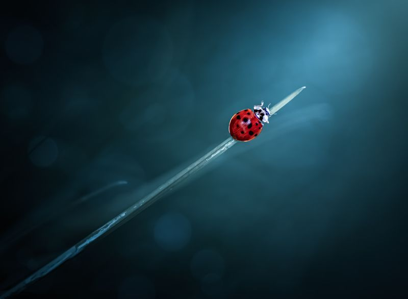 insect, macro, beetle, ladybird, ladybug, grass, blade, rain, dew, water, drops, drop, bug, Craving for hopephoto preview