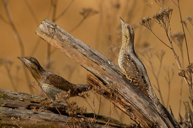 bird, wild,animals ,poland,katowice,canon Вертишейкаphoto preview