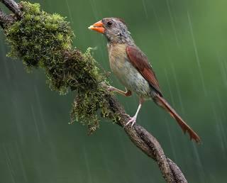 Female Northern Cardinal - Красный кардинал самка
