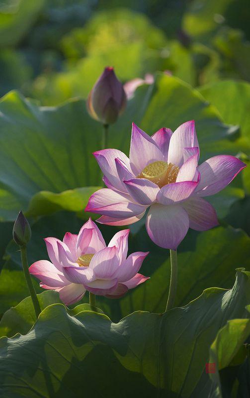 lotus #8photo preview