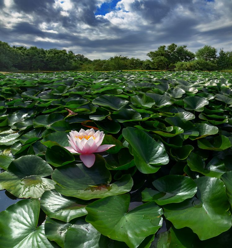 кувшинки,природа,пейзаж Одинокийphoto preview