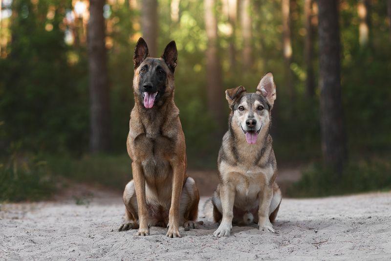 собака, животное, dog, метис, дворняга, малинуа, овчарка Парочкаphoto preview