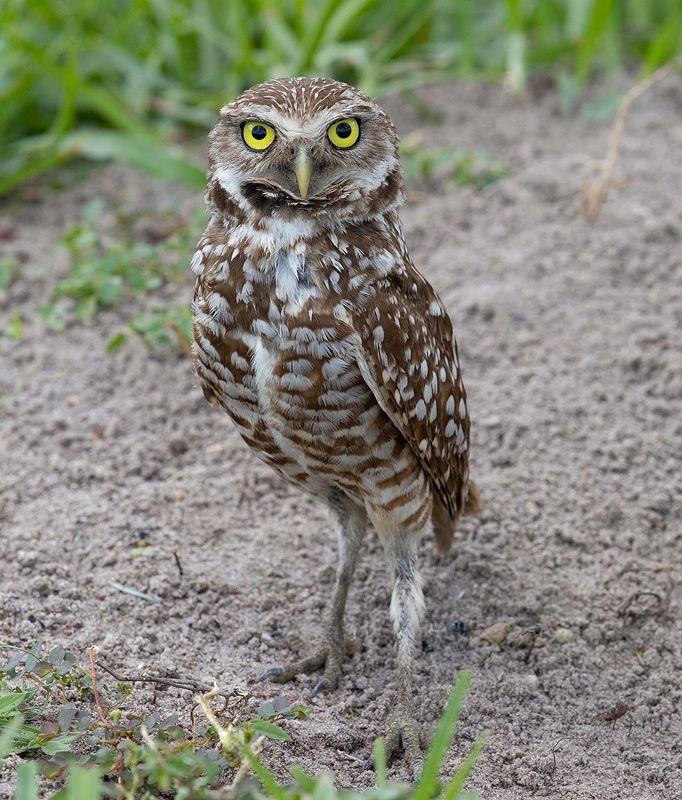 кроличий сыч, florida, burrowing owl, owl, флорида, сыч Burrowing Owl - Кроличий сыч фото превью