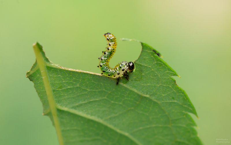 макро, природа, растения, роза, пилильщик, личинка, вредитель, macro, nature, plants, rose, sawfly, larva, pest, Вечно голодныеphoto preview